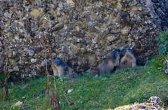 Nesslau SG - Familie Murmeltier (pe_ma) Tags: toggenburg nesslau hike hiking frühherbst murmeltier marmot