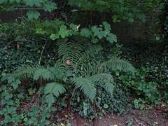 Solitary bracken (Phil Gayton) Tags: path trail tree foliage plant bracken riverside walk totnes devon uk