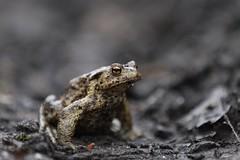 Common Toad (nikodemmatuszkiewicz) Tags: wildlife wild wildlifephotography wildlifebeauty wildanimals nature noncaptive naturespectacle animals animalphotography animalplanet animal rare