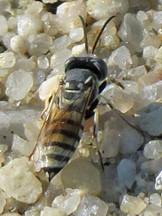 Sand Wasp, Microbembex monodonta, South Cape May Meadows (Seth Ausubel) Tags: hymenoptera crabronidae bembicini