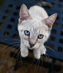 Prête à bondir ! (Thierry.Vaye) Tags: miette chat cat yeux bleus nikon d7500