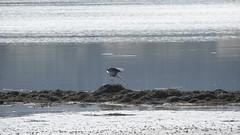 Strike (prajpix) Tags: sea loch water firth shore beach tidal estuary inverness highlands scotland blackisle heron bird ornithology birdwatching fishing nature