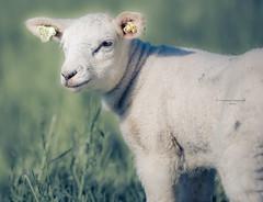 Confident (Ingeborg Ruyken) Tags: grass spring sheep mei flickr ochtend 500pxs empel gras lamb empelsedijk lente natuurfotografie lammetje may instagram schaap