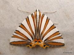 Geometer Moth, Pityeja histrionaria (Ecuador Megadiverso) Tags: andreaskay birdwatcherslodge ecuador ennominae geometermoth geometridmoth geometridae mindo moth pityejahistrionaria