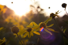 Flowers At Sunset (cmctaggs) Tags: northfield minnesota mn carleton college fall autumn nikon d7100 photography student amateur