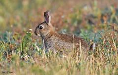 Le lapin de garenne, Oryctolagus cuniculus (jean-lucfoucret) Tags: lapin de garenne oryctolagus cuniculus nikkor nikkor200500 200500f56 animal bokeh mammifere nature nikon d500 nikond500 leporidae rabbit wildkaninchen conejo salvaje coniglio selvatico gibier