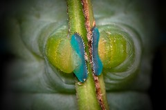 Caterpillar Feet (Hyalophora cecropia) (Douglas Heusser Photography) Tags: hyalophora cecropia moth caterpillar feet blue insect arthropod larvae canon macro photography 100mm lens nature wildlife transformation heusser photo art color lepidoptera lepidoptery giant silky nj science study