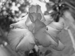 Plain Beauty (jlynfriend) Tags: phonephoto lg desertrose flower tree sky garden art