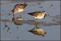 Least Sandpipers 4672 (maguire33@verizon.net) Tags: leastsandpiper sanjacintowildlifearea bird sandpiper wildlife
