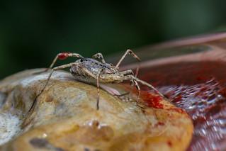 Odiellus spinosus harvestman