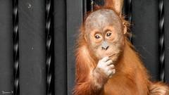 Hello Baby - 5872 (ΨᗩSᗰIᘉᗴ HᗴᘉS +23 000 000 thx) Tags: orangoutan singe animal pairidaiza nikonp1000 coolpixp1000 hensyasmine namur belgium europa aaa namuroise look photo friends be wow yasminehens interest intersting eu fr greatphotographers lanamuroise