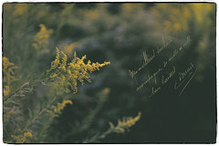 Goldenrod (JMS2) Tags: nature goldenrod wildflowers gold closeup floral matte