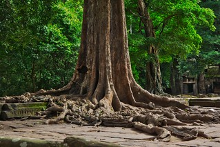Large tree growing in the ruins of Ta Prohm (a.k.a. jungle temple) in Angkor Archeological Park near Siem Reap, Cambodia