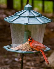 Cardinal (JuanJ) Tags: nikon d850 lightroom art bokeh nature lens light landscape happy naturephotography outside people white green red black pink skyportrait location architecture building city square squareformat instagramapp shot awesome supershot beauty cute new flickr amazing photo photograph fav favorite favs picture me explore interestingness friends bird cardinal fowl wings wing august tree feeder ky kentucky bluegrass 2018