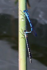 Making Out on the Waterside (Cropped) - _TNY_4692C (Calle Söderberg) Tags: macro canon canon5dmkii canoneos5dmarkii 5d2 canonef100mmf28usmmacro odonata enallagma cyathigerum commonbluet commonbluedamselfly blue mating buggyporn bugsonbugs flickslända sjöflickslända dammflickslända coenagrionidae white water reed hugging grip hug foreplay flash meike mk300 glassdiffusor insect f13