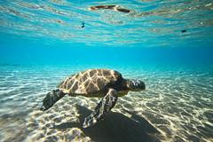 IMG_0928A (Aaron Lynton) Tags: beach lyntonproductions turtle honu maui hawaii luckywelivehawaii greenseaturtle seaturtle turtles refraction sun light water ocean oceanart reflect reflection sand coast