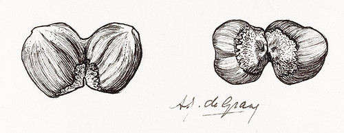 Two hazelnuts sketches by Julie de Graag (1877-1924). Original from the Rijks Museum. Digitally enhanced by rawpixel.
