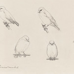 The canaries sketch by Julie de Graag (1877-1924). Original from the Rijks Museum. Digitally enhanced by rawpixel. thumbnail