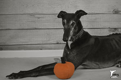 Apple Of My Eye (houndstooth4) Tags: dog greyhound flattery dogchal ddc 3752 52weeksfordogs