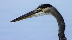 heron (1 of 1) (Jorge Landrian Menendez) Tags: great blue heron