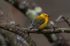 Prothonotary Warbler (grobinette) Tags: prothonotarywarbler warbler neotropical swampcanary huntleymeadowspark huntleymeadows