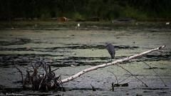 A perched blue heron. (kuntheaprum) Tags: wildlife riversedge nikon d750 tamron 150600mm