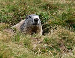 2018-09-16_9161736 © Sylvain Collet_DxO.jpg (sylvain.collet) Tags: france wild marmot marmotte nature mountains alpesdehauteprovence colmarslesalpes lacdallos montagne