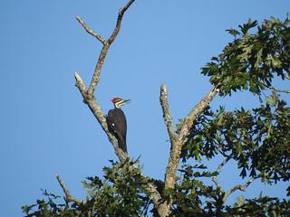 Pileated Woodpecker (Explored #35)