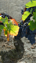 ESPOLLA - CEP (Joan Biarnés) Tags: espolla altempordà empordà girona catalunya cep raïms uvas 270 panasonicfz1000