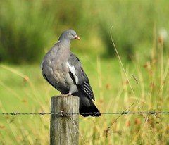 Wood Pigeon On Barbed Wire Post - Lamesley (N) (Gilli8888) Tags: lamesley northtyneside gateshead birds nature lamesleypastures post barbedwire nikon p900 coolpix pigeon woodpigeon northeast