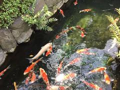 Carps 錦鯉 Nishikigoi (hikaruchan) Tags: japan nishikigoi colorado 色 錦鯉 池 魚 鯉 carp fish