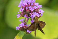 IMG_3091a (judyflo1) Tags: summer garden macro butterfly skipper brown purple
