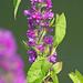 Betony - Betonica officinalis - (Stachys officinalis) - Culm River, Cullompton, Devon - 13 July 2018