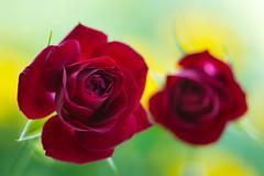 rose 4118 (junjiaoyama) Tags: japan flower plant red summer bokeh macro rose