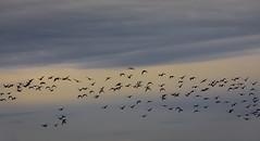Muutto mielessä (Antti Tassberg) Tags: pilvi lintu taivas minimal silhouette viikki suomi helsinki bird cloud finland minimalistic scandinavia simplified sky