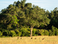 Quiet mood in Golden late afternoon light.Young male impalas (odileva) Tags: impala antelopes june kenia masaimaranp nature transmara riftvalleyprovince kenya ke