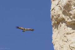 Grifone (Milo Manica) Tags: gypsfulvus grifone uccello bird rapace ali blu cielo sky uadi deserto desert israele palestina canon eos 60d tamron 70300
