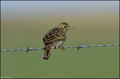 Meadow Pipit (christhornton238) Tags: beautiful capture christhornton norfolkwildlife norfolk norfolkbirds nationaltrust salt east eastcoast eastanglia eastern england meadowpipit