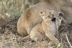 Playing with Mom's Tail (Michael Zahra) Tags: africa tanzania safari wildlife travel animal mammal lion lioness cub tail play savannah grassland baby cute outdoors conservation nature