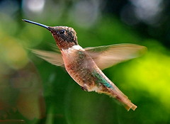 Fuel Cell (nelhiebelv) Tags: hummingbird bird flying