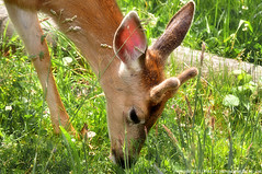 2011-06-15 Columbian Black-tailed Deer (02) (1024x680) (-jon) Tags: anacortes sanjuanpassage skagitcounty skagit washingtonstate fidalgobay capsante rotarypark salishsea fidalgoisland sanjuanislands pugetsound columbianblacktaileddeer odocoileushemionuscolumbianus muledeer male buck antler d90archives a266122photographyproduction deer