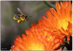 Bee about to land on a flower (Bear Dale) Tags: bee about land flower ulladulla south coast new wales shoalhaven australia nikon d850 nikkor afs micro 105mm f28g ifed vr dale lake conjola fotoworx milton orange petal petals mid flight pollen cof035dmnq cofo35lete cof035mari nature beardale lakeconjola southcoast framed photo photograph groups group flickr