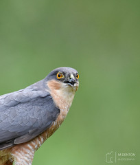 Male Sparrowhawk (wild from a hide) (mikedenton19) Tags: sparrowhawk accipiter nisus accipiternisus male bird nature wildlife birdofprey raptor hawk scottishphotographyhides scotland