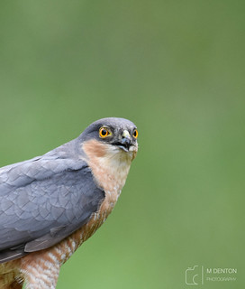 Male Sparrowhawk (wild from a hide)