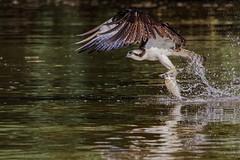 Snagging a Shad (ksharp2) Tags: lake river jamesriver fish shad water splashing osprey bird birdphotography birdphoto birdinflight prey fishing food hunting virginia