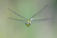 Southern Hawker (Gareth Keevil) Tags: autumn dragonfly garethkeevil hawker inflight nikon nikon300mmpf nikond500 reedbed smallbrookmeadows southernhawker sunshine telephoto uk warminster wild wiltshire wiltshirewildlifetrust