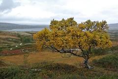 høst i fjellet (KvikneFoto) Tags: nikon1j2 landskap høst autumn norge sau sheep