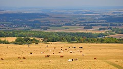 happy cows (JoannaRB2009) Tags: dörnbergnaturereserve hesse hessen germany deutschland landscape view cows animals trees hills summer meadow