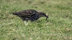 the earley bird (blackfox wildlife and nature imaging) Tags: panasonicg80 leica100400 birds deeestuary flintcastle hightide