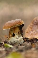 Autumn in the forest (Manon van der Burg) Tags: depthoffield macrophotogaphy lowpov herfst autumn forest funghi mushroom bokehlicious bokeh canon80d sigma100400mm macrowithtelezoom kroondomein bos veluwe eekhoorntjesbrood paddestoel